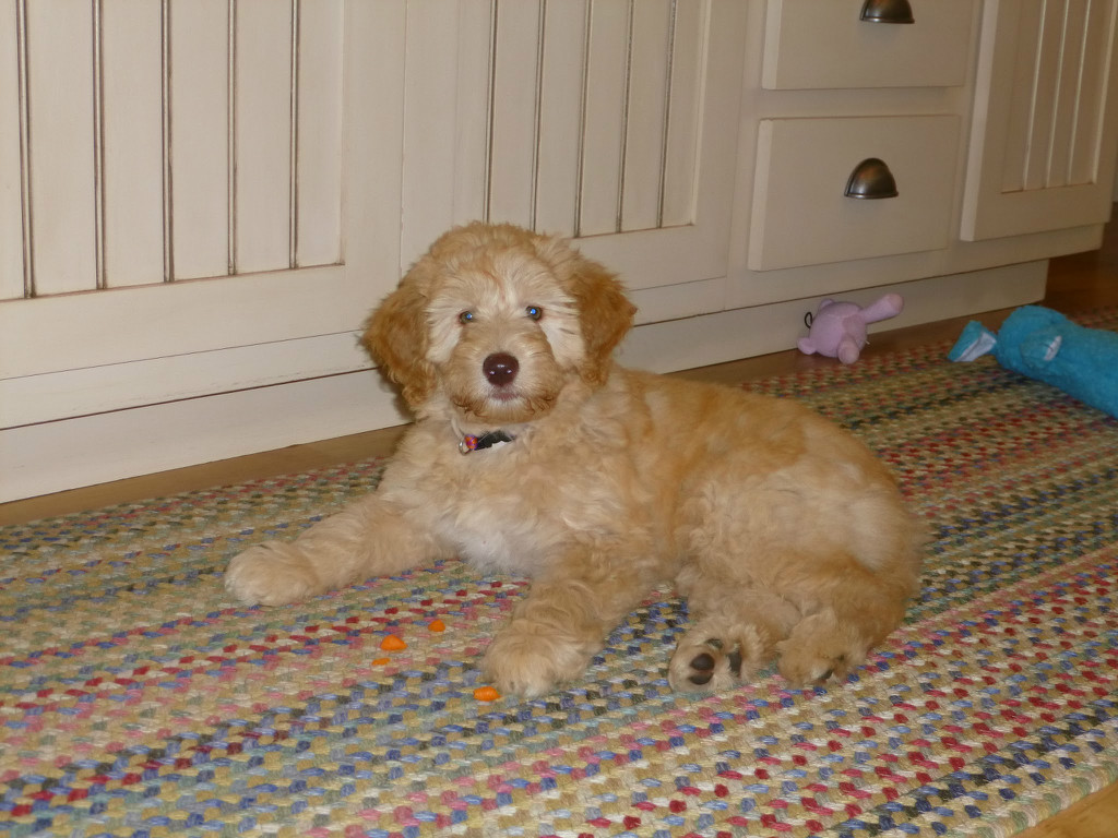 Are you looking for a labradoodle puppy to adopt?