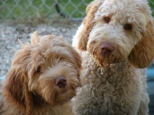 Moyen golden doodle and moyen poodles