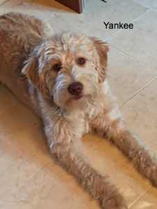 Yankee, our labradoodle male