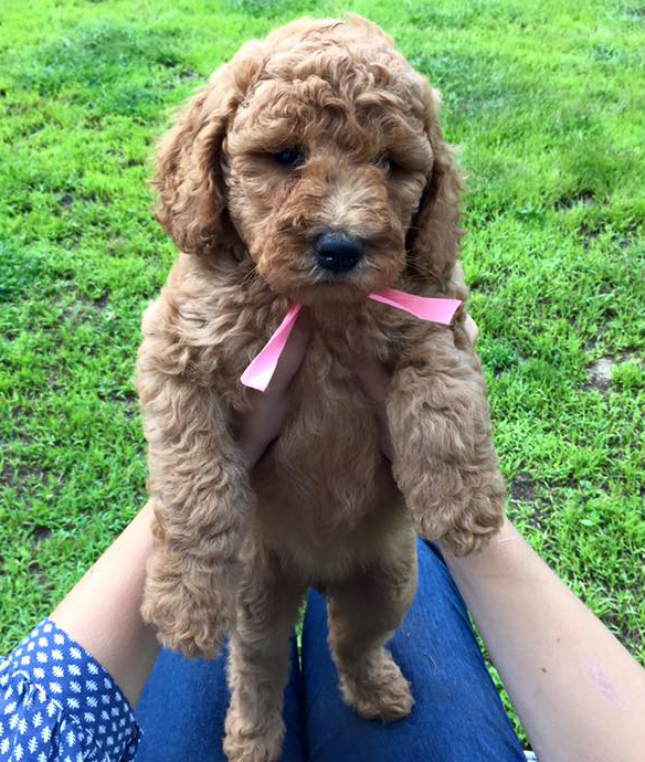 We are a Reputable Naples Florida Doodle Breeder