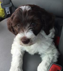 Austrailian labradoodle puppy