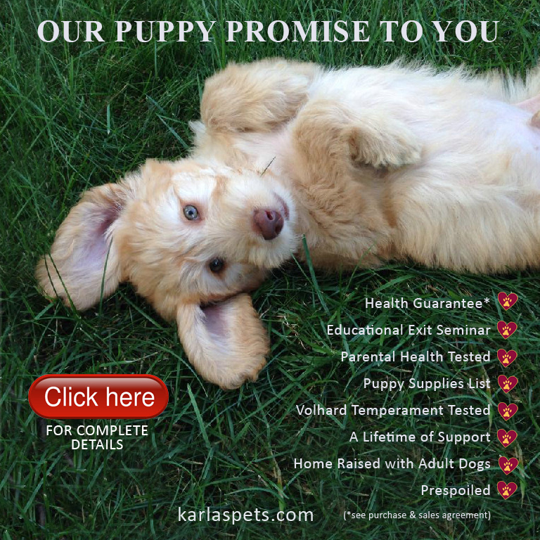 Labradoodle Goldendoodle And Moyen Poodle Puppies For Sale