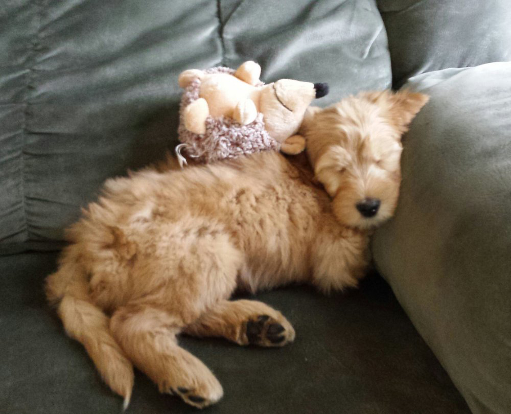 Quality doodle puppy breeder