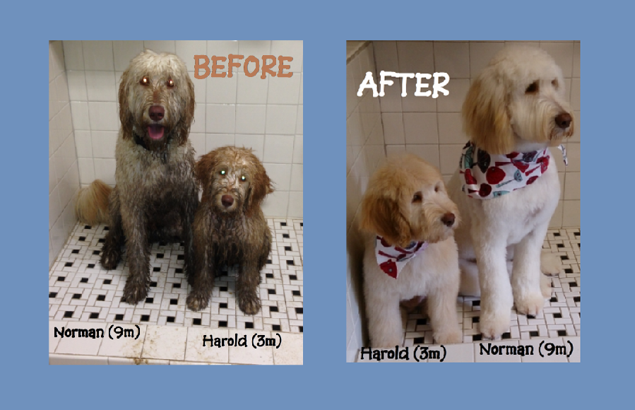 Before and after pictures of dog grooming