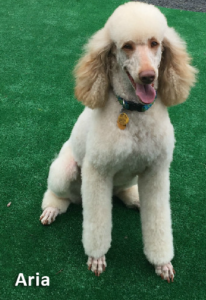 Poodle breeder, our female dog Aria