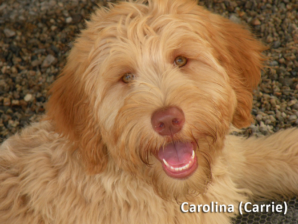 This is Carolina, known as Carrie. Our Goldendoodle mom.