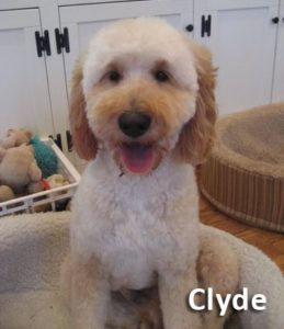 Clyde, our Australian Labradoodle Stud
