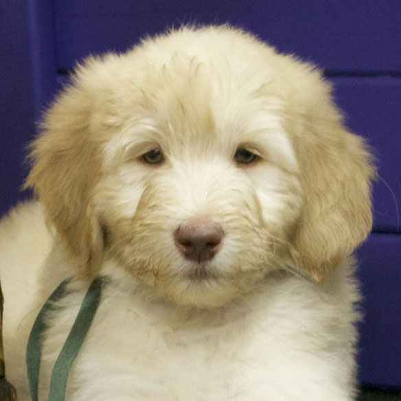 Goldendoodle breeder review