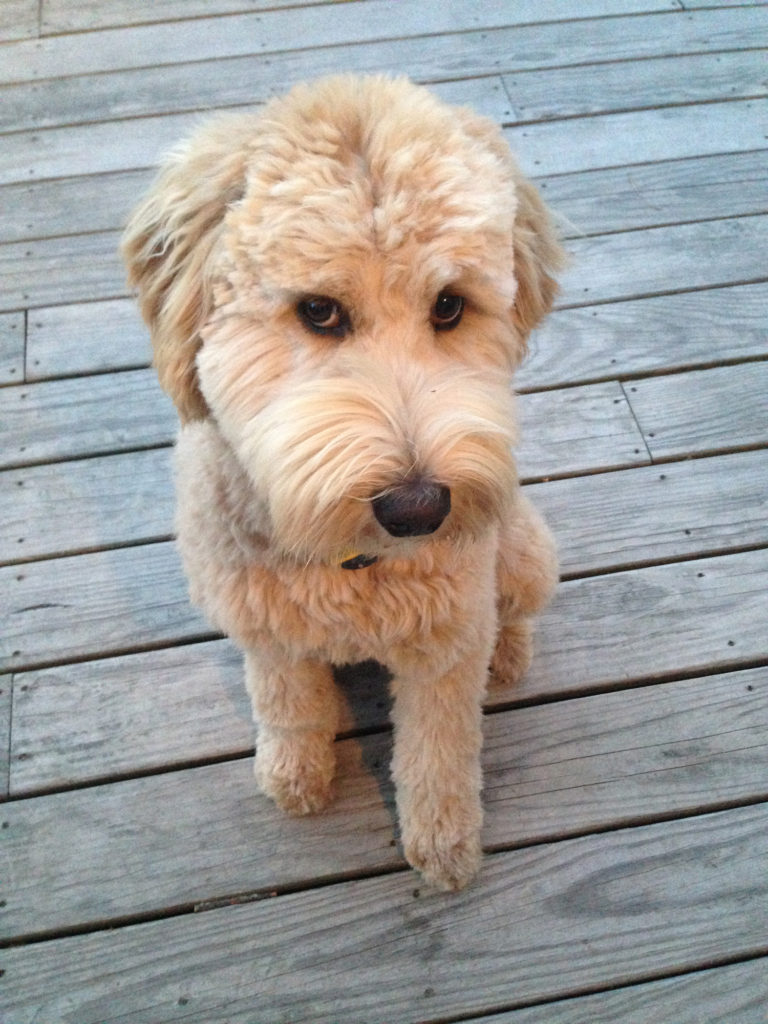 Goldendoodle Customer Review Baily 2