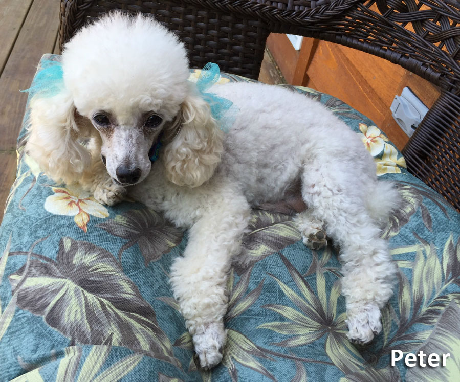 Peter is our Champion Toy Poodle Stud