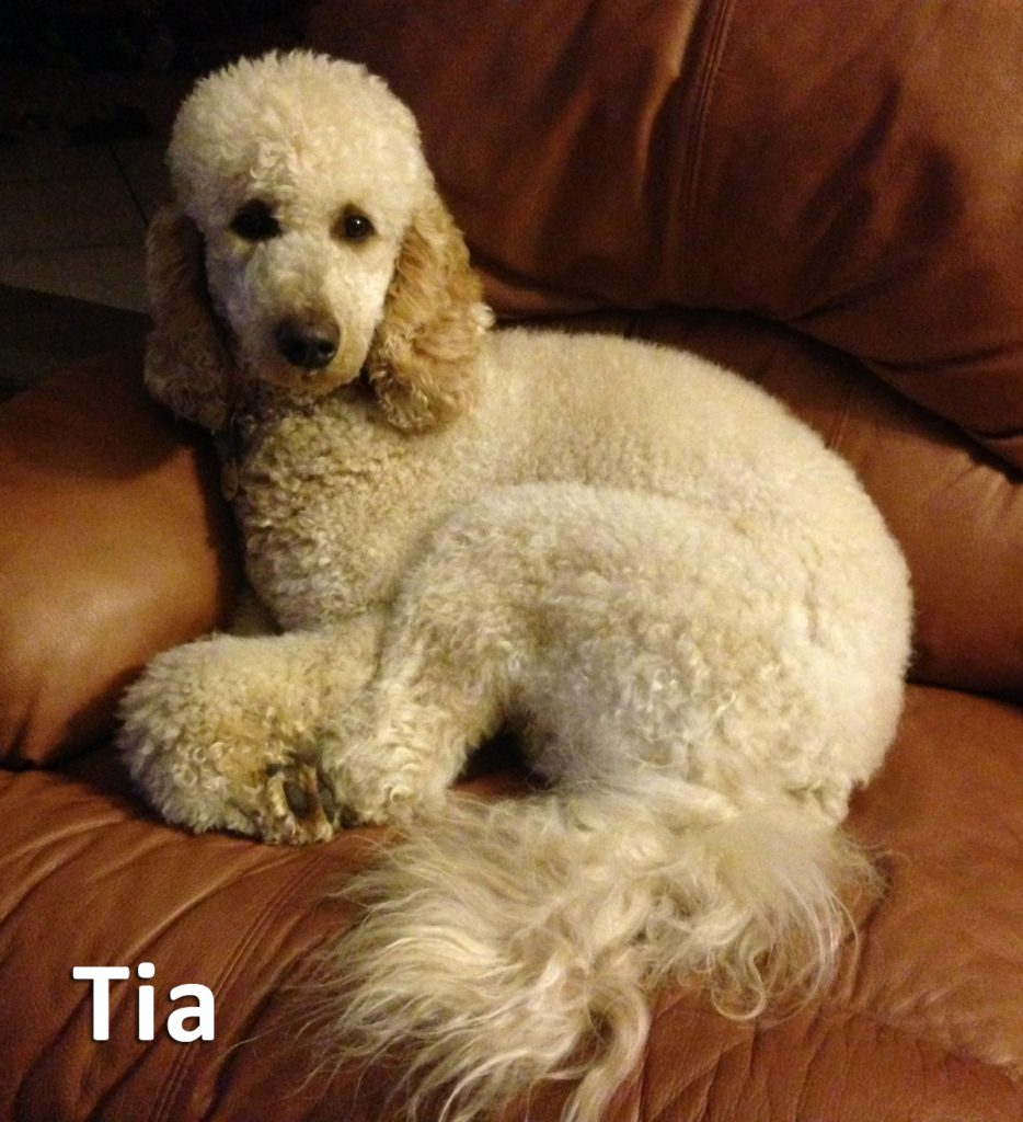 This is Tia our Moyen Poodle