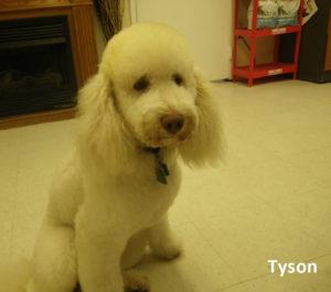 Tyson our Moyen Poodle Daddy