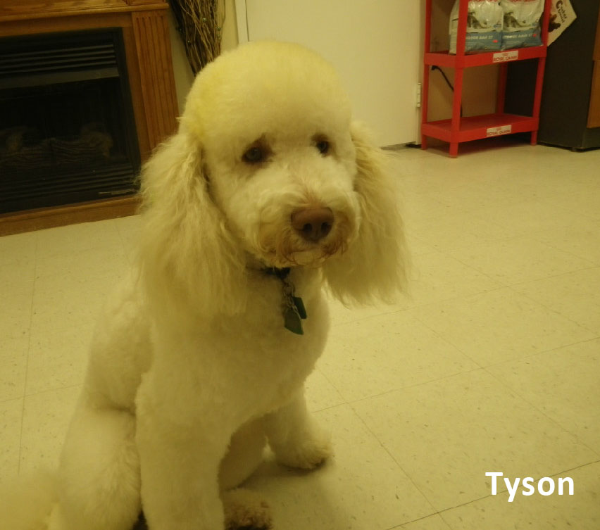 Tyson our Moyen Poodle Daddy
