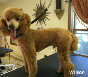 Red Moyen Poodle male.