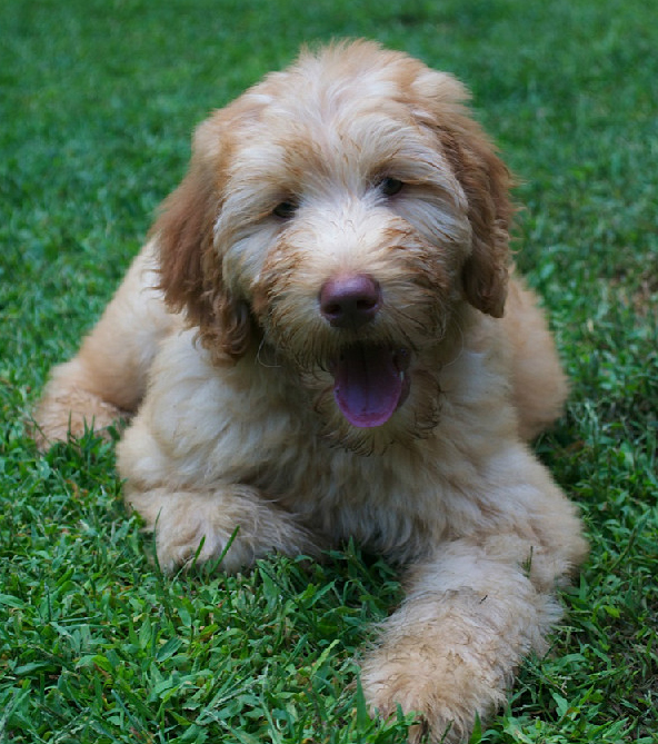 Reputable Doodle Breeder in Conway NH