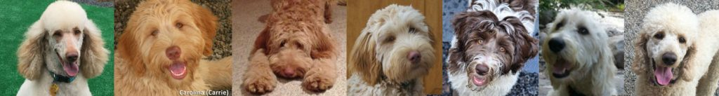 We are a Reputable doodle breeder in Conway NH and Naples FL