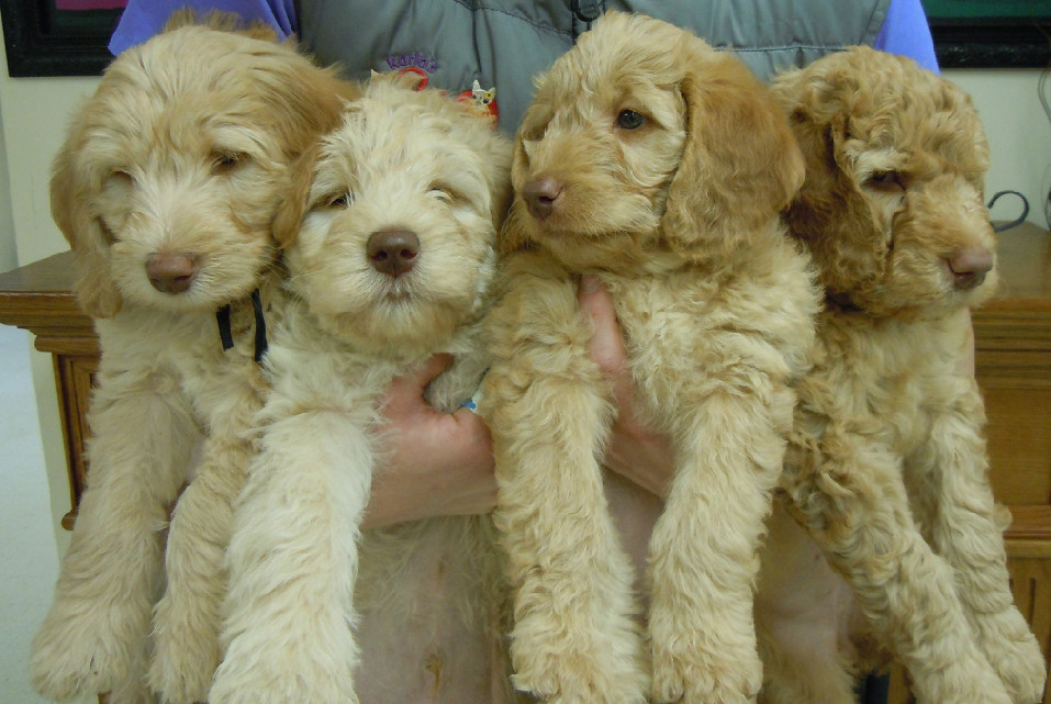 We Have Goldendoodle Puppies for sale
