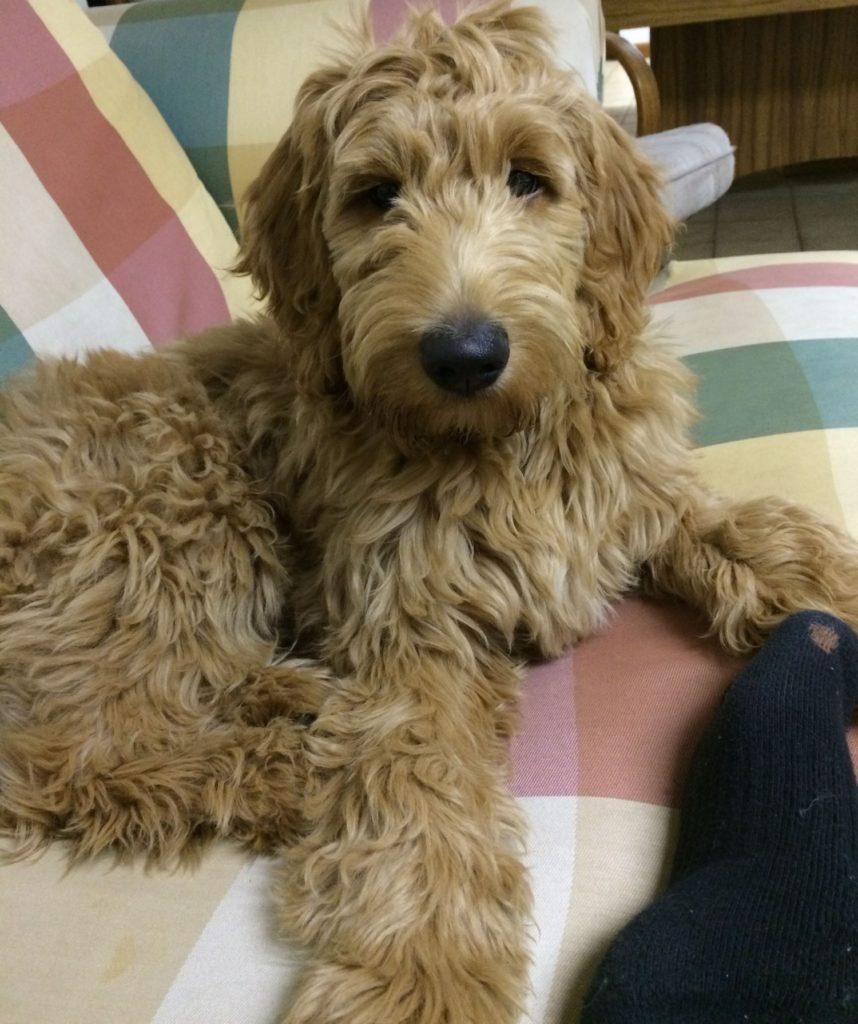 Goldendoodles quality doodle breeder
