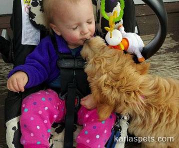 Goldendoodles quality doodle breeder shares photos