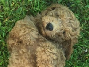 Our Goldendoodle Puppies