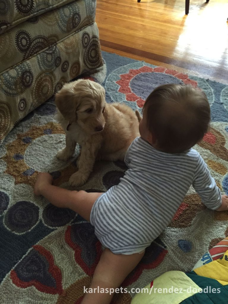 Reliable Goldendoodle Breeder New England