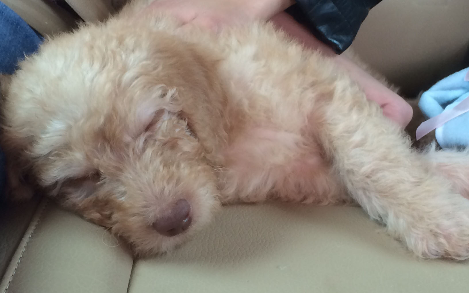 Adopt a doodle puppy
