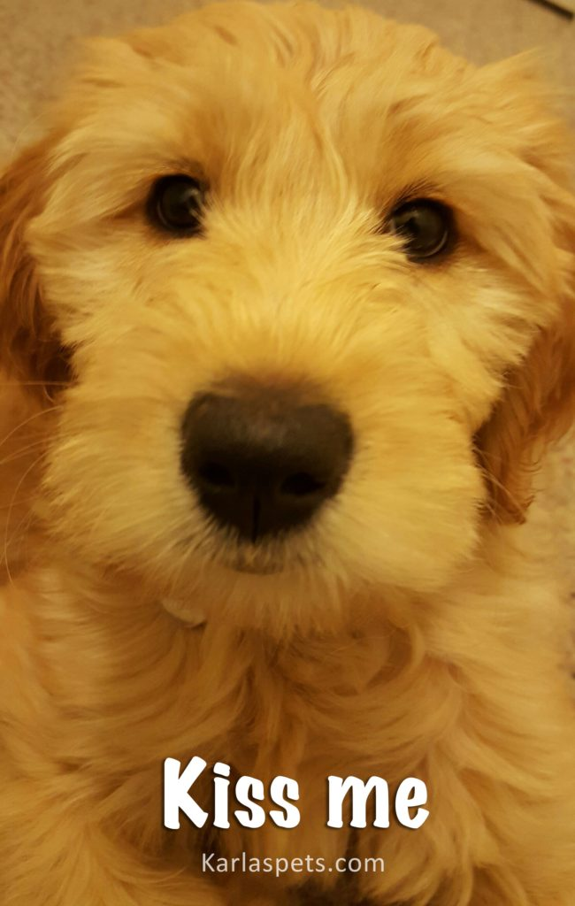 Quality Doodle Breeder of Goldendoodle Puppies