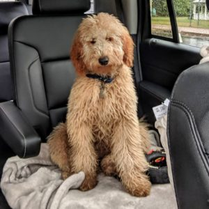 phoebe the goldendoodle
