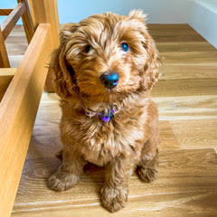 river marco labradoodle puppies